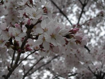 Sakura_up