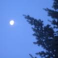 もみの木と早朝の月
